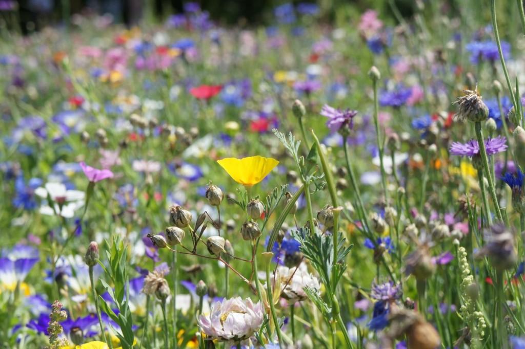 Blumenwiese aus überwiegend einjährigen Arten