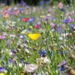 Wildblumenwies, Bienenweide, Schmetterlingsweide