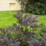 Actaea simplex Brunette, (Cimicifuga ramosa Brunette) - Herbstsilberkerze