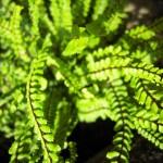 Asplenia trichomanes - brauner Streifenfarn, Milzfarn