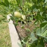 Baptisia australis - Indigolupinie Detail mit Frucht