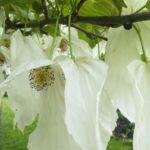 Blüte des Taschentuchbaumes im Detail, weiße Blüten