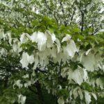 Hauptblüte von Davidia, Taschentuchbaum oder auch Taubenbaum, die Zweige sind voll