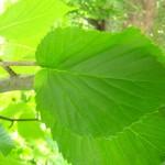 Davidia involucrata var vilmoriniana, Blätter