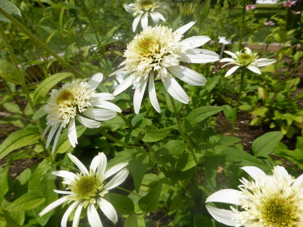 Echinacea prupurea White Double Delight - Sonnenhut, Detail Blüte