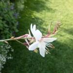 Gaura lindheimeri Karalee White - Prachtkerze, Detail Blüte