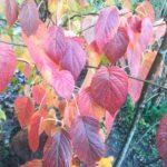 Herbstfärbung beim Taschentuchstrauch - leuchtend rot, gelb und bisl lila