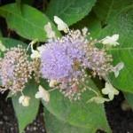 Hydrangea involucrata - Hyllblatt-Hortensie, geöffnete Blüte