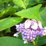 Hydrangea involucrata - Hyllblatt-Hortensie, Blüte am öffnen