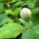 Hydrangea involucrata - Hüllblatthortensie, Blütenknospe
