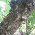 Kalopanax septemlobus - Baumkraftwurz, Detail Stamm