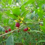 Prinsepia uniflora - Chinesische Dornenkirsche