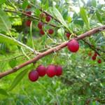 Prinsepia uniflora - Chinesische Dornenkirsche, Früchte