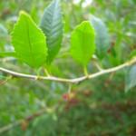 Zweige und Laub von Prinsepia uniflora - Chinesische Dornenkirsche