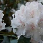 Rhododendron catawbiense, weiße Blüte