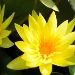 Nymphaea x hybrida - Seerose