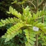 Sophora tetraptera - Schnurbaum