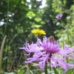 Wiesenblumen am Waldrand: Kornblumen, Herbstlöwenzahn