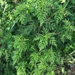 Ambrosia artemisiifolia - Ragweed, Ambrosia, Beifußblättriges Traubenkraut, Blütenansätze, Detail Blätter