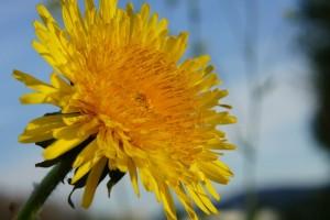 Taraxacum sect. ruderalia - gewöhnlicher Löwenzahn Blüte