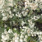 Anaphalis triplinervis Sommerschnee - Perlkörbchen, ein Blütenmeer