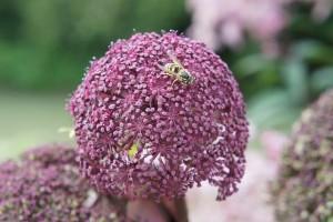 Angelica gigas - rote Engelwurz, Blüte