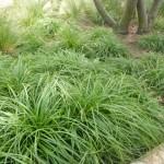 Carex caryophyllea The Beatles - Frühlings-Segge im Beet