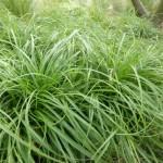 Carex caryophyllea The Beatles - Frühlings-Segge