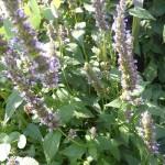 Agastache foeniculum (hybride) Black Adder - Duftnessel, Blütenrispen, Laub