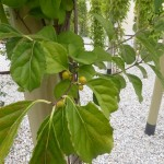 Celastrus orbiculatus - Baumwürger, Laub