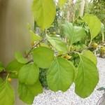 Celastrus orbiculatus - Baumwürger, Laub und Knospen