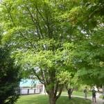Cladrastis lutea - Gelbholz, Wuchs