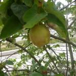 Cydonia oblonga Birnenquitte, Frucht