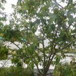 Cydonia oblonga Birnenquitte - Wuchs