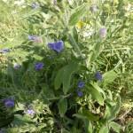 Echium vulgare - gewöhnlicher Natternkopf, Bienenweiden