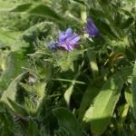 Echium vulgare - gewöhnlicher Natternkopf