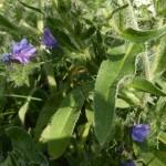 Echium vulgare - gewöhnlicher Natternkopf, Bienenweide