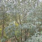 Elaeagnus commutata - Silberölweide, Wuchs