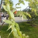 Gymnocladus dioicus - Geweihbaum, Blatt