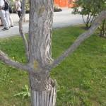 Gymnocladus dioicus - Geweihbaum, Rinde