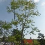 Gymnocladus dioicus - Geweihbaum, Wuchs in jungen Jahren