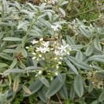 Helianthemum apenninum- Apenninen-Sonnenröschen, Blüte