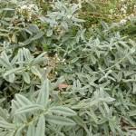 Helianthemum apenninum - Apenninen-Sonnenröschen, Laub, Wuchs