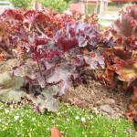 Heuchera americana Melting Fire - Purpurglöckchen, im Vordergrund Sagina subulata - Sternmoos