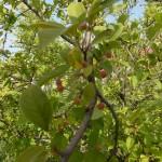 Malus toringo sargentii - Japanischer Bergapfel, Früchte