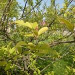 Malus toringo sargentii - Japanischer Bergapfel, Laub