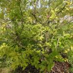 Malus toringo sargentii - Japanischer Bergapfel, Wuchs