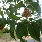 Ostrya carpinifolia - Hopfenbuche, Samen und Laub
