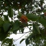 Ostrya carpinifolia - Hopfenbuche, Samenstand
