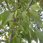Ostrya carpinifolia - Hopfenbuche, Laub